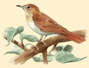 slavuj-ptice-koje-pevaju-i-slave-boga-e28093-otac-tadej