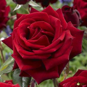 ruža2