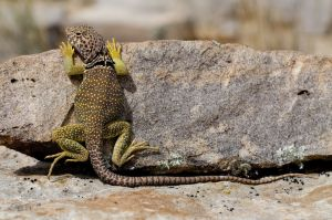 1280-176120204-collared-lizard