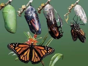 leptir-razvoj