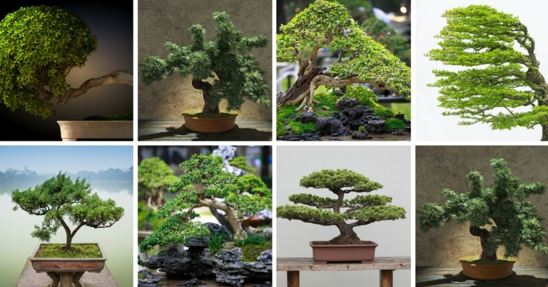 54-pictures-of-bonsai-trees-768x402-1