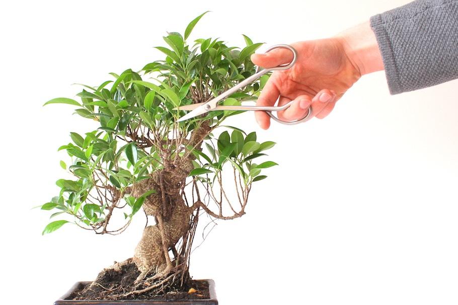 pruning-02-ficus